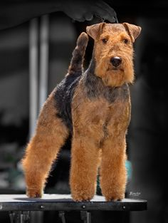 Welsh Terrier on the dog show photo