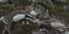 Trois cent vingt-trois rennes sauvages foudroyés en Norvège
