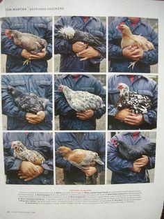 Chickens - Martha Stewart