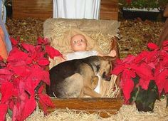 Homeless dog finds warmth in the manger....priceless!