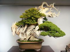 This Bonsai Tree Is Over 800 Year Old