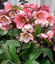 Pink Frost Hellebore (Helleborus x ballardiae) blooms in January in the Pacific Northwest.