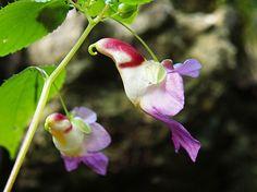 オウムフラワー、Impatiens Psittacina アジア南東地区に咲く鳥の形をした花、ホウセンカの一種