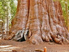 General Sherman is a Giant Sequoia located in the Giant Forest of Sequoia National Park in California. The famous trees of the Giant Forest are among the largest trees in the world. In fact, if measured by volume, five of the ten largest trees on the planet are located within this forest. At 11.1 meter (36.5 ft) along the base he General Sherman tree is the largest of them all. The tree is believed to be between 2,300 and 2,700 years old.