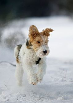 Fox terrier in snow