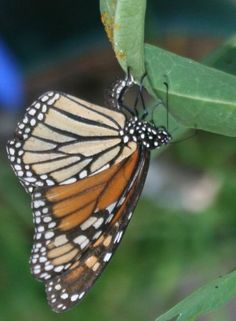 "The ""super-generation"" of butterflies that migrates to Mexico each year is simply amazing. Learn about the monarch migration journey."