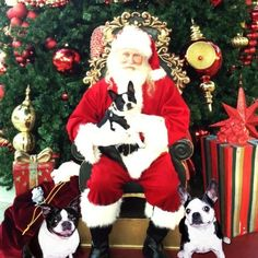 All three of my Boston Terriers posing for our annual Christmas card.