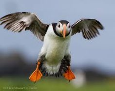 Image result for puffin image