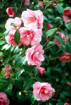 SB Camellia x williamsii Ruby Wedding