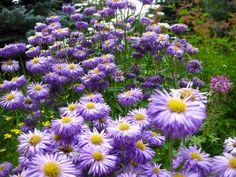 Powerful Purple @ Betty Ford Alpine Gardens