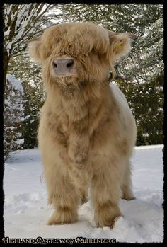 either a highland calf or the world's biggest puppy. fuzzy highland coo calf via highland cattle vom kuhlenberg. hugh highlander, highland cow - so so cute Cute Baby Cow, Baby Cows, Cute Cows, Baby Elephants, Fluffy Cows, Fluffy Animals, Animals And Pets, Wild Animals, Cow Pictures