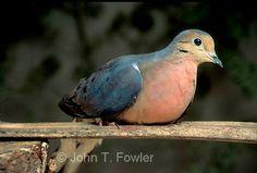 Passenger Pigeon(Ectopistes migratorius) extinct