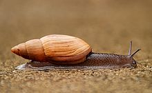 Rosy wolfsnail or canniibal snail: Euglandina rosea, Family: Spiraxidae, Class: Gastropoda, Phylum: Mollusca; medium-sized to large predatory air-breathing land snail, carnivorous terrestrial pulmonate gastropod mollusc; native to tropical North America, has become an invasive species in many places, including Hawaii