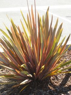 "Phormium ""Rainbow Queen""sports an olive green to bronze central stripe and apricot margins."