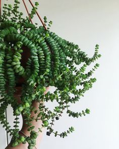 """I love that the Swedish common name for this is """"troll nec… Crassula marnieriana. I love that the Swedish common name for this is """"troll necklace""""! Cacti And Succulents, Planting Succulents, Planting Flowers, Hanging Plants, Indoor Plants, Potted Plants, Porch Plants, Indoor Cactus, Cactus Cactus"""