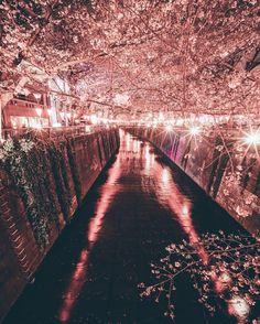 sakura season by edwardkb