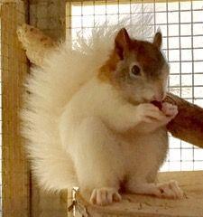 That's a pretty squirrel! Unusual Animals, Like Animals, Animals Of The World, Cute Baby Animals, Animals Beautiful, Animals And Pets, Cute Squirrel, Baby Squirrel, Squirrels