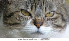 Portrait of white and gray #cat. Detail of the face with green eyes. Selective focus; compre este imagen de archivo (stock) en #Shutterstock y encuentre otras imágenes.