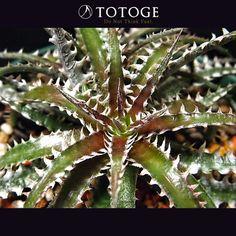活着し損ねて成長が遅れた殺し屋マック。良いのか悪いのかWへッドになって復活どう成長するのか楽しみなやつです。 #dyckia #ディッキア #totoge #plants #Bromeliaceae #ヨルディッキア