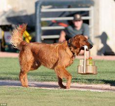 trenton bat dog | Trenton Thunder: 'Bat Dog' Chase dies just three days after retirement ...