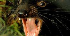 Mudança climática reduziu população de diabos-da-Tasmânia na Austrália
