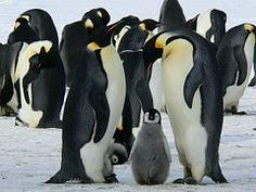 Pinguine, Kaiser, Antarktis, Leben