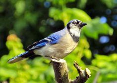 Blue Jay in the garden
