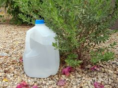 DIY - Milk Jug drip irrigation.  A great way to add extra water to your plants.  Make a few holes with a nail on the bottom of the milk jug and fill with water. Also a great way to apply liquid fertilizer!