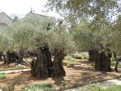 Gethsemane, just outside of Jerusalem, where Jesus Christ prayed on the last night before his crucifixion.
