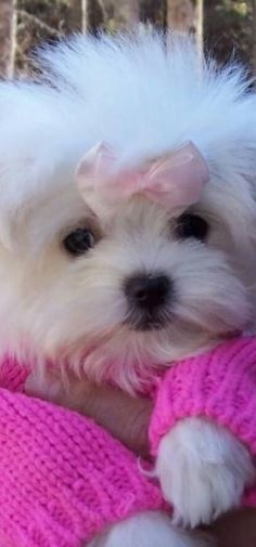 aww pink sweater & bow…sweet puppy!