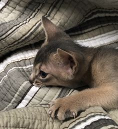 British Soldier, Somali, Abyssinian, Cattery, North Africa, Beautiful Cats, Cat Breeds, Adorable Animals, Animal Kingdom