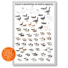 David Allen Sibley illustrates the rich variety of North America's waterfowl.