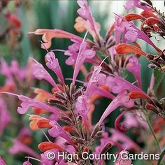 Agastache Acapulco Salmon and Pink is a wonderful hybrid introduction to be enjoyed for its mint-scented foliage and profusion of bi-colored orange and pink tubular flowers. A continuous bloomer and compact grower, Acapulco Salmon High Country Gardens, Hummingbird Plants, Garden Soil, Garden Plants, Mediterranean Garden, Unique Plants, Drought Tolerant Plants, Fall Plants, Native Plants