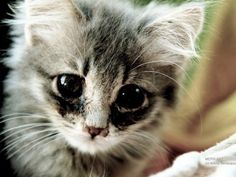 The cute cat stare: melting harts since 10.000 B.C.