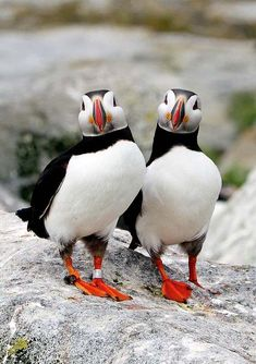 Puffins, you ask? Everytime I see a photo of a Puffin, I think of you my sweet. 13 hours of labor and breathing looking at a cute bird ~ a Puffin! Out pops You ~ my Gift from God! Pretty Birds, Beautiful Birds, Animals Beautiful, Beautiful Couple, Beautiful Life, Exotic Birds, Colorful Birds, Animals And Pets, Cute Animals