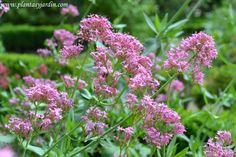 La Valeriana roja: ideal p/ jardines de rocallas, terraplenes secos, borduras, jardines de bajo mantenimiento y poco riego. Sus hojas son comestibles, y se las consume frescas en ensaladas o cocidas como verduras.