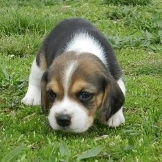 Dogs classifieds: Home Raised Cute and Affordable Beagle Puppies