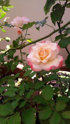 Rosa del terrazzo