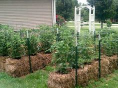 Photo: Tomatoes growing in straw bales:    http://www.cleveland.com/insideout/index.ssf/2012/04/straw-bale_gardening_lets_you.html