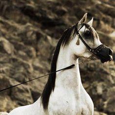 Arabian Horse Arabian Horse Show - Western Competition Egyptian Stallion Breeding PIntabians~ Please visit barngirl.com for more.