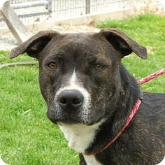 Washburn, MO - Pit Bull Terrier Mix. Meet Darcy, a dog for adoption. http://www.adoptapet.com/pet/10660869-washburn-missouri-pit-bull-terrier-mix
