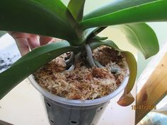 Пересадка + мини операция одной орхидеи - YouTube