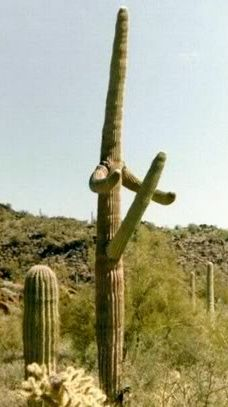 This cactus is ridiculously phallic