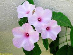 Ipomoea carnea, Morning Glory Bush - a fantastic perennial for our area. Butterflies love this plant.