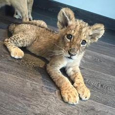 "Black Jaguar-White Tiger on Instagram: ""Hector... #babyhectorbjwt @hectorortegacelis #savelions #saveourplanet #behuman #notpets #nosonmascotas #blackjaguarwhitetiger #rescuedlions"""