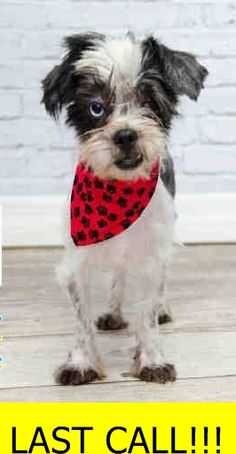 PAM (A1704847) I am a female black and white Shih Tzu. The shelter staff think I am about 1 year old. I was found as a stray and I may be available for adoption on 06/18/2015. — hier: Miami Dade County Animal Services. https://www.facebook.com/urgentdogsofmiami/photos/pb.191859757515102.-2207520000.1434413053./995499667151103/?type=3&theater