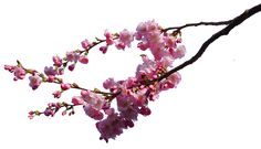 cherry blossom branches png STOCK by AStoKo on DeviantArt Light Blue Eyes, Green Eyes, Pink Rose Png, Pink Trees, Honey Hair, Photoshop, Cherry Tree, Rose Petals, Tree Branches