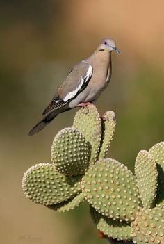 White-winged Dove (Zenaida asiatica) found in the Southwest United States thru Mexico, Central America and the Caribbean. Exotic Birds, Colorful Birds, Exotic Pets, Dove Hunting Texas, Pretty Birds, Beautiful Birds, Dove Wing, Dove Pigeon, Mourning Dove