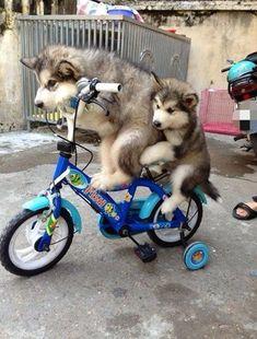 insolite chien husky velo