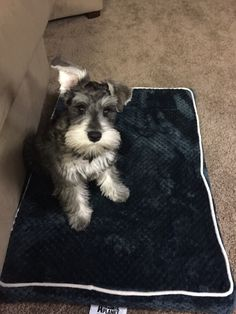 Raleigh's 2nd haircut 14 week old Miniature schnauzer